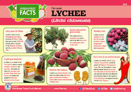 lychee fruit peeled infograph friday fruit facts 016 u2013 lychee tfnet