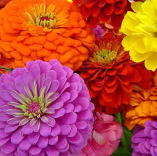 zinnia flower benary s zinnia seed mixed colors