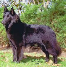 belgian shepherd standard forequarters belgian sheepdog club of america