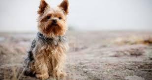 australian shepherd yorkie dogs with blue eyes causes dangers u0026 breeds