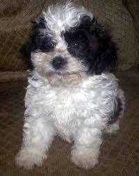 shih tzu with curly hair red panda teddy mix puppy texas
