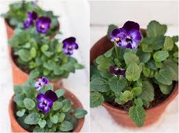 garden flowers violas u2026such dainty winter blooms flowerona