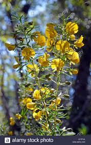 australis plants australian native plants australian native pea flower stock photos u0026 australian native pea
