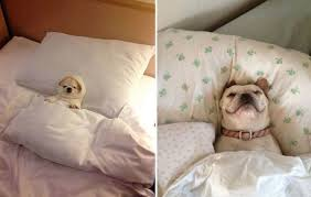 Tired Dog Meme - 22 tired dogs that are definitely not letting you sleep in your bed