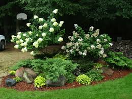 landscaping hydrangeas with evergreens limelight hydrangea tree