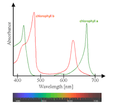 the absorption of light by photosynthetic pigments worksheet answers accessory pigments in photosynthesis definition function video