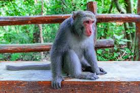 Monkey Bench Macaque Sitting On A Bench In The Forest Stock Photo Image 84051847