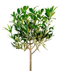 small green olive tree isolated on white stock photo colourbox