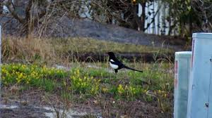 Magpie Birds In Backyards Threads That Won U0027t Die Black Billed Magpie In South Carolina