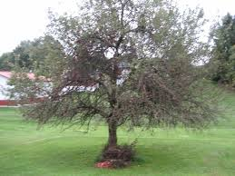 backyard apple tree branches dying at bottom ask an expert
