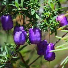 growing australian native plants from seed australian seed billardiera longiflora