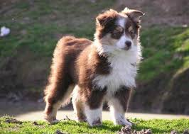 australian shepherd overprotective dog breeds what are the 50 most popular dogs in america