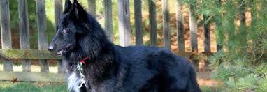 belgian sheepdog newsletter belgian sheepdog rescue trust belgian sheepdog club of america