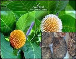 kadam ornamental tree seeds anthocephalus cadamba in sanjeevani