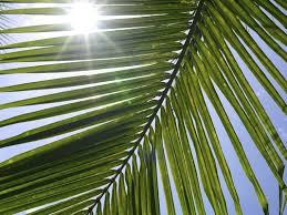 palm leaves for palm sunday palm sunday symbols and sacrifice