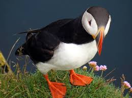 saving puffins a conversation with stephen kress yale