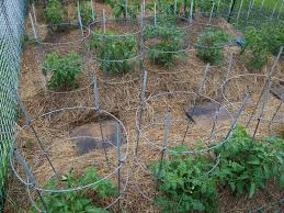 how and when to mulch tomatoes for best tomato care