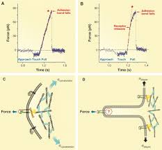 forces and bond dynamics in cell adhesion science