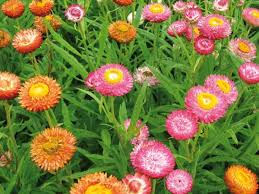 straw flowers stepford strawflowers self sowing annual 4