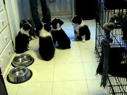 australian shepherd puppies 7 weeks adorable mini aussie puppies do tricks at 7 weeks old www