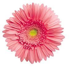 gerbera daisies pink gerbera jigsaw puzzle puzzlewarehouse