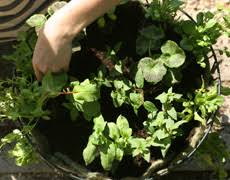 Best Plants For Hanging Baskets by Planting Hanging Baskets Flower Pouches U0026 Containers Thompson