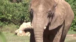 elephant nashville zoo exhibit youtube