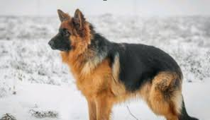 belgian shepherd 4 months trained dogs for sale master dog training