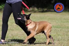 belgian sheepdog florida dog training dog for sale dog trainer in hoobly classifieds