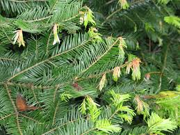 recycling christmas trees helps curb the spread of pests green