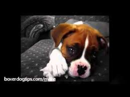 boxer dog training tips boxer puppy training tips things to know when potty training