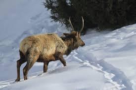 Montana where to travel in february images Yellowstone in winter safari photo studio jpg