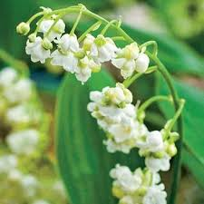 Lily Of The Valley Flower Lily Of The Valley Plants
