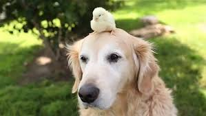 Comfort Golden Elderly Golden Retriever Baby Take Interspecies