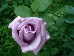 Lavender Roses Lavender Rose By Biutz On Deviantart