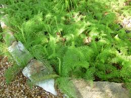 native texas plants for shade ground cover my gardener says u2026