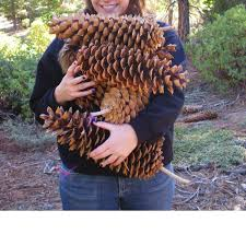 giant sugar pine cones sierra nevada u0027s interior inspiration