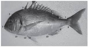 population genetic structure and body shape assessment of pagrus
