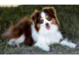 australian shepherd size chart 116 best aussies images on pinterest animals aussie puppies and