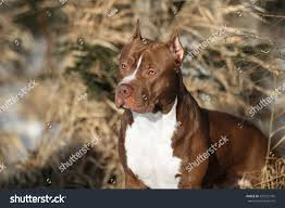 american pitbull terrier jumping beautiful dog american pit bull terrier stock photo 593521745