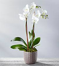 Orchid Plants Orchid Plants U0026 Gifts Send Blue Orchids Gifts From Ftd