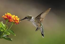 hummingbird flowers flowers to attract hummingbirds best choices