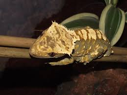 Halloween Crested Gecko Morph by Crested Gecko Morph 2011 Awards Page 2 Reptile Forums