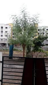 easiest grow moringa tree wikihow