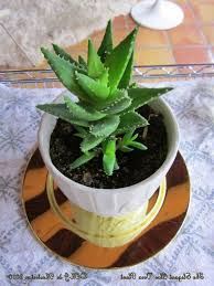improve your interior design with natural green touch of aloe vera