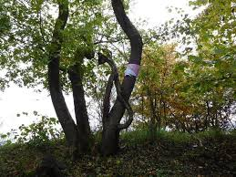 more unique trees picture of hoia baciu project cluj napoca