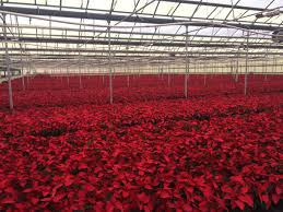 is home depot selling poinsettias on black friday for 99c been growing and selling them for years reddit may i present to