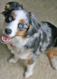 australian shepherd miniature mini australian shepherd when i can get a dog this will be the
