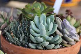 succulent care and display tips new england today