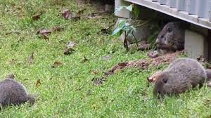 baby groundhogs that live under my shed 5 6 2013 tennessee youtube